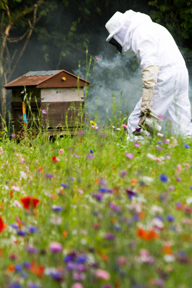 Russell Flynn of Gwent Bee Keepers wearing protective bee keepiing suit  attending to Honey Bee Hives in MEADOW OF ANNUAL FLOWERS( POPPIES ETC ) for Honey Bees (Apis Meliffera ) to collect nectar and provide symbiotic relationship for flowers .