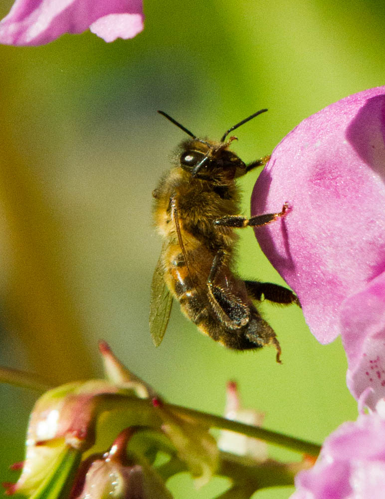 honey Bee (Apis mellifera )on Himalayan Balsam N Wales UK