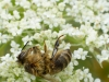 Dead Honey Bee ( Apis mellifera) on Wid Carrot ( Daucus carotta) , cause of death unknown .