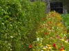 lINE OF FLOWERS SOWN ALONGSIDE RUNNER BEANS IN kitchen garden to benefit pllination of fruit and vegetables -companion planting by gardener and Gwent bee keepers . Llantarnam Abbey Cwmbran Gwent Wales UK