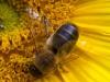 Male or drone Honey Bee (Apis mellifera ) on sunflower in garden Bristol Avon UK