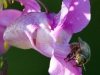 Honey Bee (Apis mellifera ) covered in pollen  feeding on Himalayan Balasam ( Impatiens glandulifera )flower N Wales UK