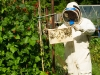 pROFessional beekeeper  looking at honey bees(Apis  meliffera ) in allotments adjacent to Runner Beans-important for pollination   Cwmbran  Gwent Wales UK
