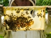 Bee keeper with frames distorted by excessive heat , threat to honey bees .Threat of climate change to bees Usk Gwent Wales UK