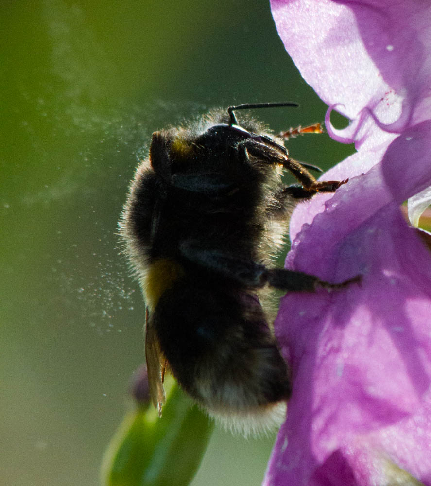 buff Tailed Bumble Bee ( Bombus terrestris ) shaking off pollen , ON Himalayan Balsam (Impatiens glandulifera )  N Wales UK