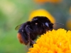 Queen Red tailed Bumble Bee ( Bombus lapidarius ) on Marigold flower in Elder Stubbs allotment Cowley Oxford UK
