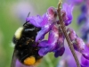 Early Bumble Bee ( Bombus pratorum ) on tufted vetch flower, with pollen N Wales UK