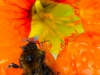 female Tree Bee (Bombus hypnorum ) on garden Nasturtium , a bee species which has spread into the UK in the last ten years due to Climate change Peaslake Surrey UK