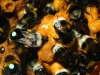 Buff tailed Bumble Bee (Bombus Terrestris ) numbered ( for research purposes ) and non numbered insects show both wax and nectar pots -controlled nest for research purposes to discover drone (males ) flight patterns in relation to Dr Stephan Wolf's research work .