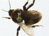 Queen Buff Tailed Bumble Bee ( Bombus terrestris) in muslin outside screen prior to release   to outside from indoor controlled nest with transponder on it in Rothampsted Experimental Station in order for Dr Stephan Wolf ( bee scientist ) to monitor its flights  . .Then its flight is recorded by radar and computer ..Thus its important food plants that it visits can be recorded and important scientific data for agriculture and nature reserves can be determined ). This is important new science discovered by Dr Wolf and his colleagues over several years