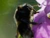 buff Tailed Bumble Bee ( Bombus terrestris ) shaking off pollen , ON Himalayan Balsam (Impatiens glandulifera )  N Wales UK